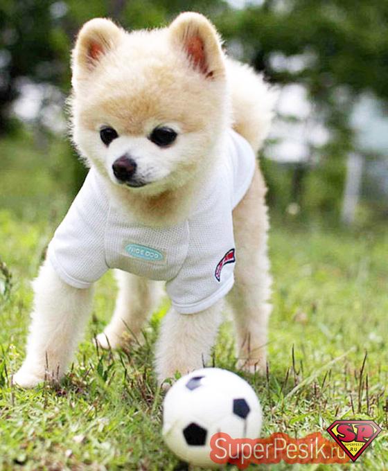 Конкурент собаки Бу - «самая милая собачка Японии по имени Шансьюк»