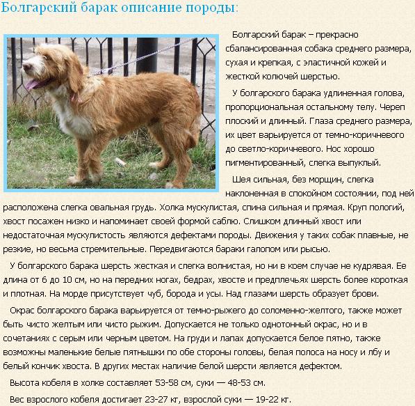 Описание породы болгарский барак