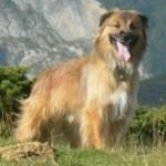gladkomordaya-pirenejskaya-ovcharka3