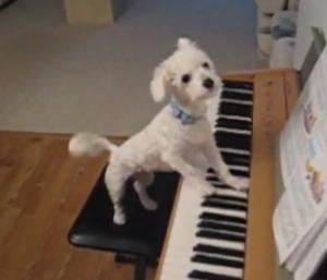 sobaka-piano
