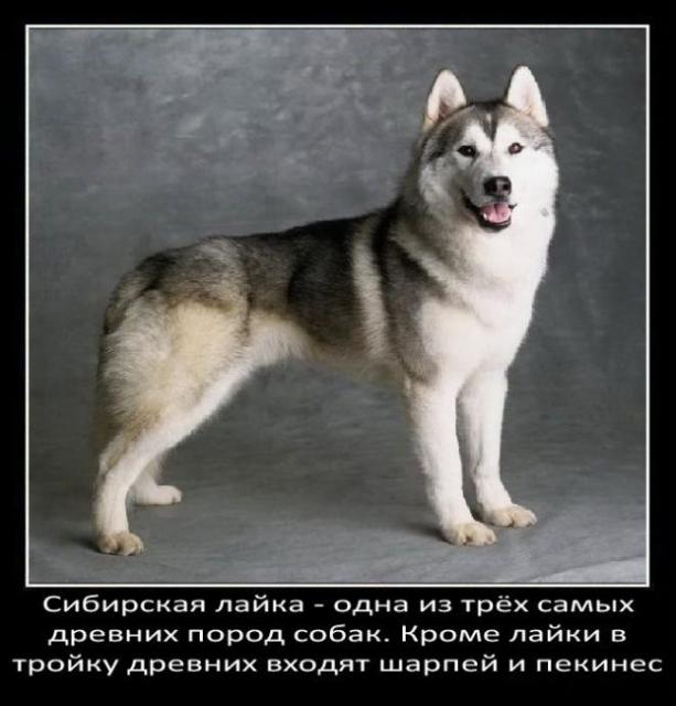 fakty-o-sobakax19