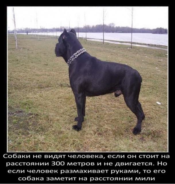 fakty-o-sobakax26