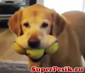 """""""Чтоб три раза не ходить"""" Собака в орту три мяча несёт видео"""