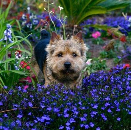 norwich-terrier-01