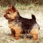 norwich-terrier-02