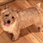 norwich-terrier-03