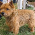 norwich-terrier-04