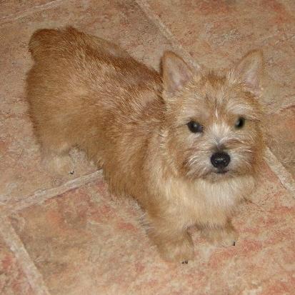 norwich-terrier-05