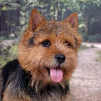 norwich-terrier-06