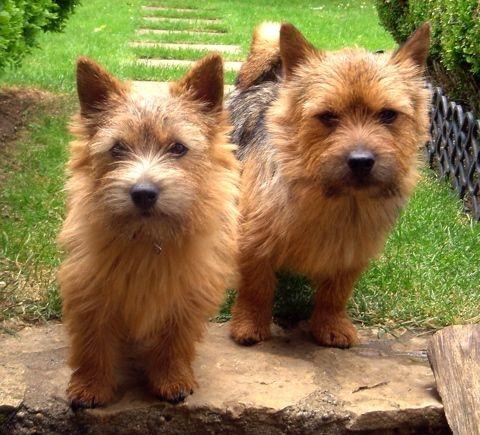 norwich-terrier-07