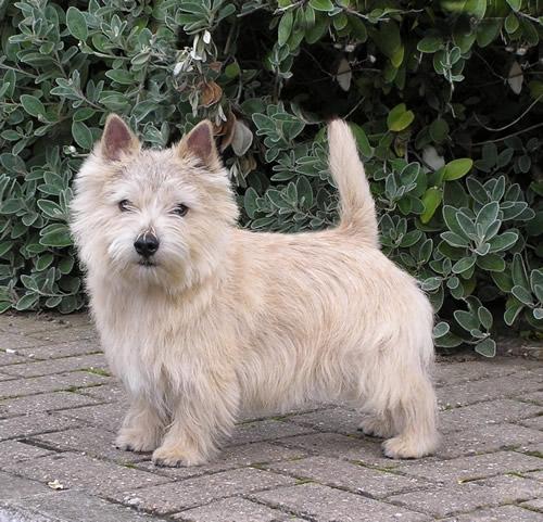 norwich-terrier-08