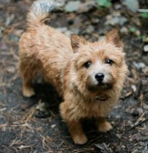 norwich-terrier-09