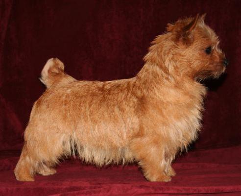norwich-terrier-10