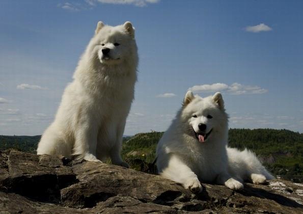 Фото самоедская собака все фото тут