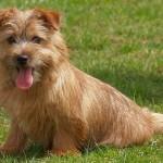 norfolk-terrier-3