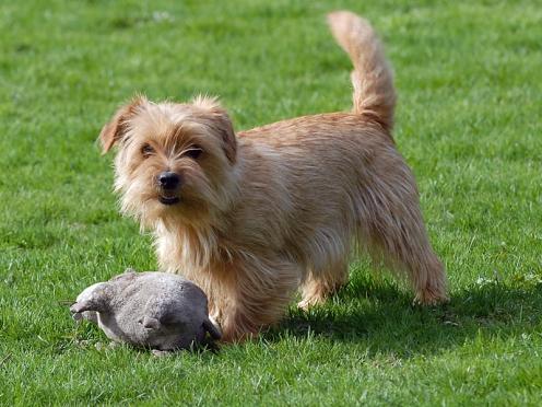 norfolk-terrier-6