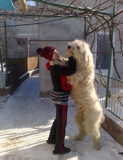 juzhnorusskaja_ovcharka_13