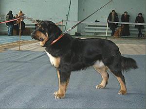 buryat-mongolskij-volkodav2