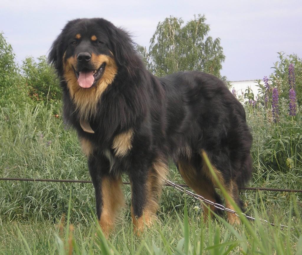 buryat-mongolskij-volkodav6