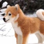 Shiba_Inu_2