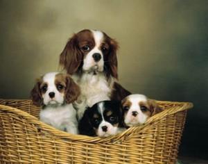Порода собак: Кавалер кинг чарльз спаниель