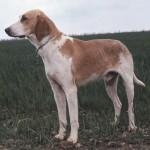 francuzskaya-belo-oranzhevaya-gonchaya1