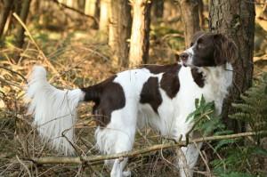 Дрентская куропаточная собака в лесу