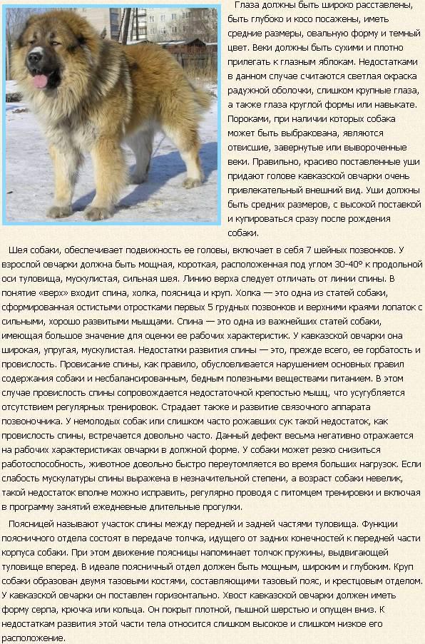 kavkazskaya-ovcharka-opisanie2