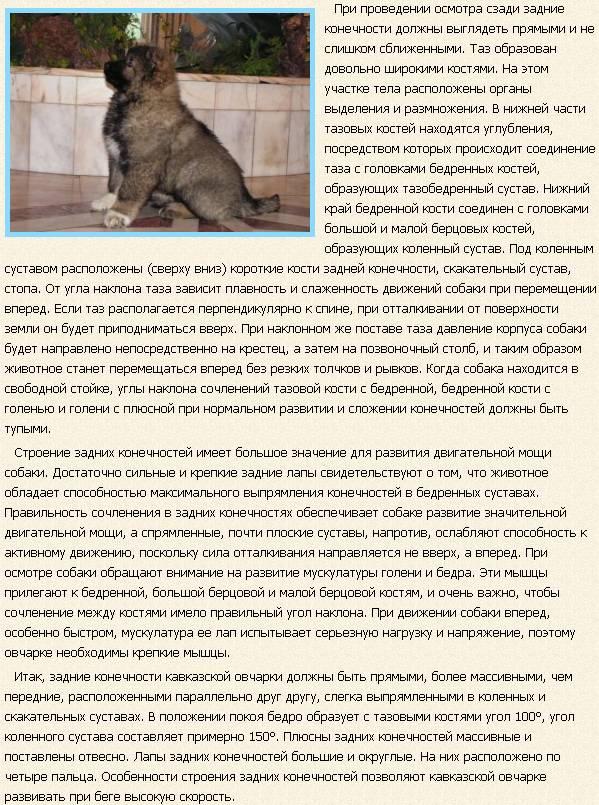 kavkazskaya-ovcharka-opisanie5
