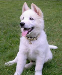 Горная собака Бали щенок