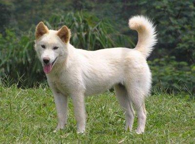 Горная собака Бали