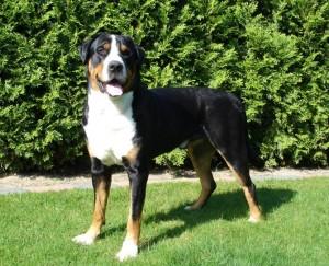 Большая горная швейцарская собака