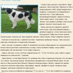 pirenejskij-mastif-opisanie
