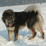 pyrenean-mastiff-02
