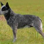 korotkoxvostyj-kettl-dog1