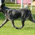 korotkoxvostyj-kettl-dog2