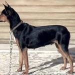 perro-ratero-malorkin5