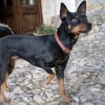 perro-ratero-malorkin6