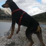 perro-ratero-malorkin7