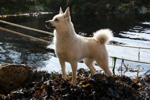 norwegian-buhund-04