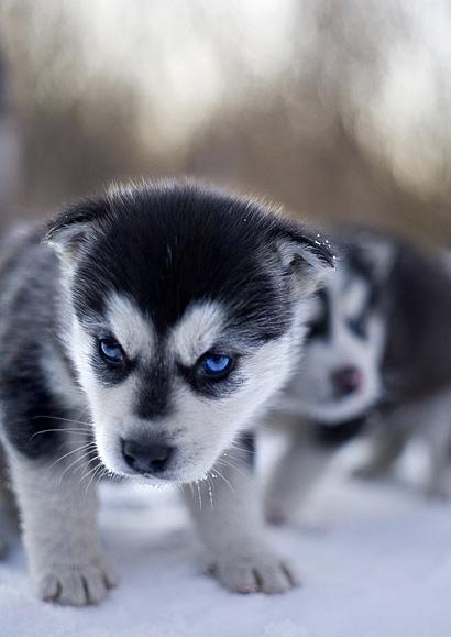 http://superpesik.ru/wp-content/uploads/2011/07/haski_puppy.jpg