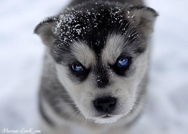 http://superpesik.ru/wp-content/uploads/2011/07/husky_puppy.jpg